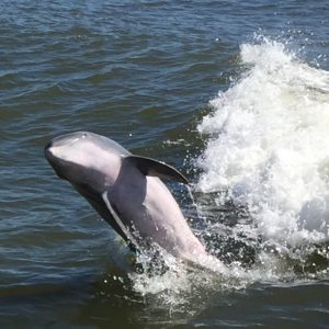 Dolphins surfing in Estero Bay, Florida