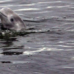 Gas pipeline bursts in Alaskan waters and endanger whale habitat
