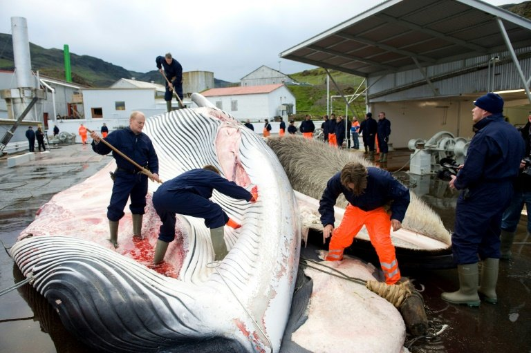 A total of 155 endangered fin whales and 29 minke whales were killed during Iceland's hunting season this year !