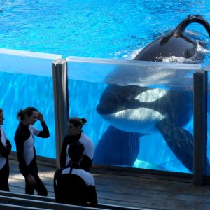 The story of the famous Killer Whale: Tilikum