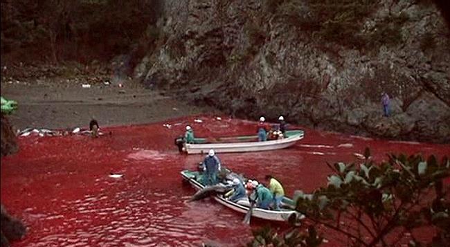 TAIJI'S annual slaughter underway…