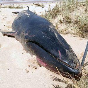 Une baleine Omura filmée pour la première fois!