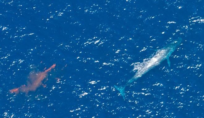 Les pertes de fèces des géants marins perturbent la planète entière