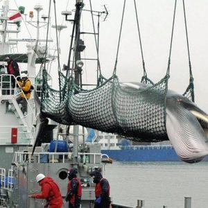 Le Japon reprend la chasse aux baleines dans l'Antarctique