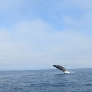 Whale watching in Canada and California