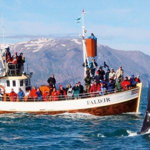 Visite de TAF en Islande, observation ou chasse à la baleine?
