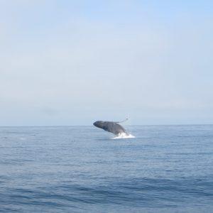 Observation des baleines au Canada et en Californie
