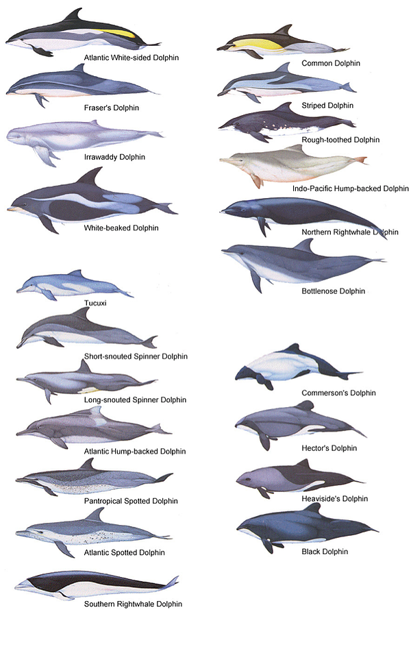 TAF-Dolphin-Species