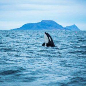 Dernières informations sur la chasse à la baleine en Norvége, 2019
