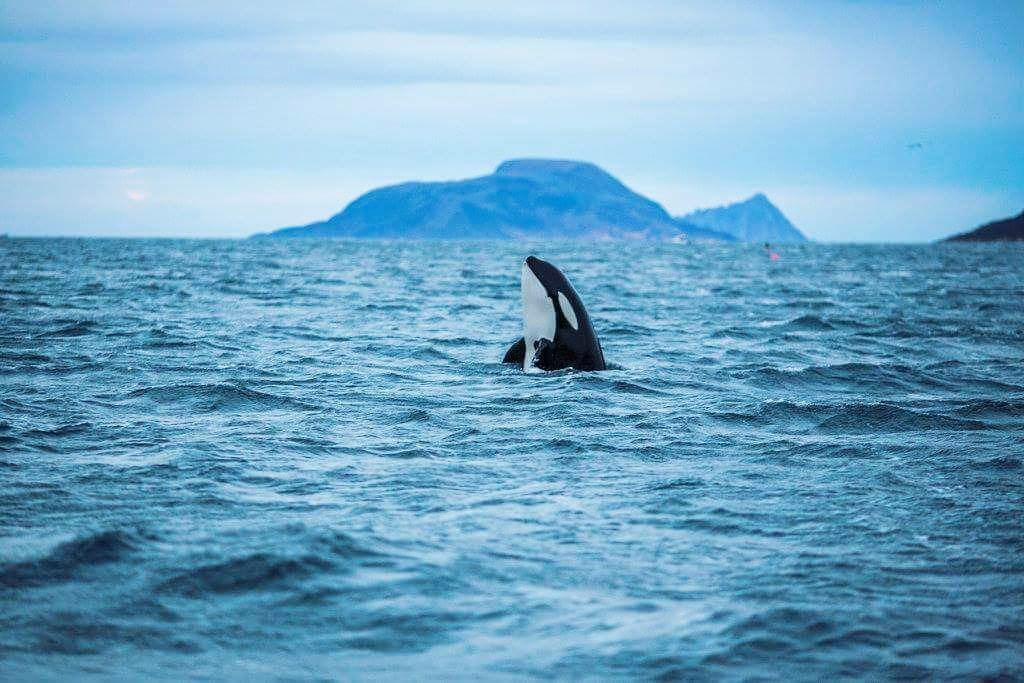 Update on Norwegian whale hunt, 2019